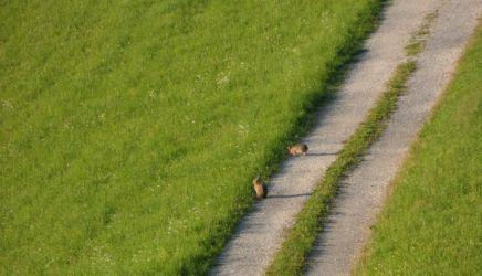 Feldhasen auf dem Weg zum Margarethengut :)